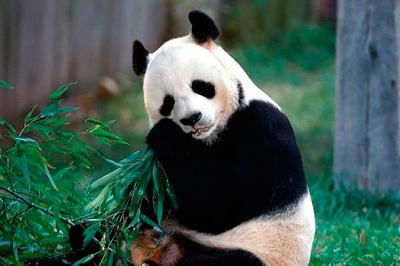 Панду в Венском зоопарке назвали Счастливым Леопардом