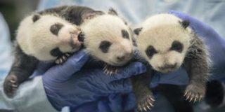 Открывшие свои глаза панды-тройняшки из Китая покинули инкубатор