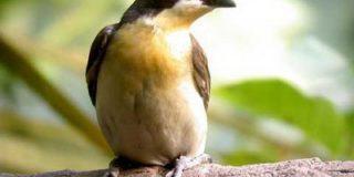 Жители Африки добывают дикий мед с помощью птиц-медоуказчиков