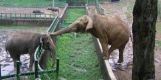 В 2015 году в Московском зоопарке будет открыт Музей слонов