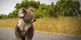 В Австралии правоохранители задержали коалу, которая переходила улицу в неположенном месте
