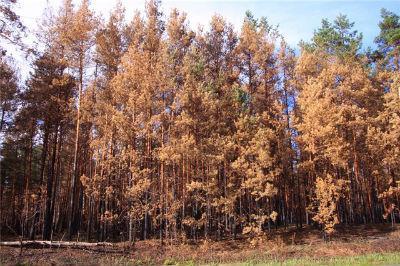 redforest3