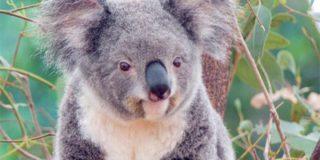 Австралийская коала была задержана при попытке угнать самейный Land Rover