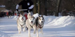 На Камчатке проведут гонку на собачьих упряжках