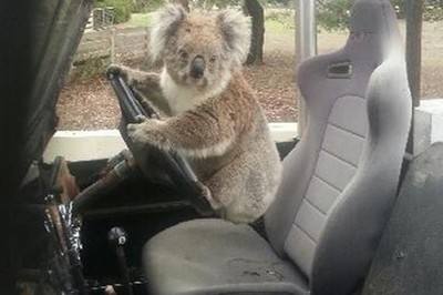 koala-pic510-510x340-91247