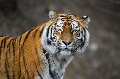 3800x2533_amurskij-tigr-dikaya-koshka-morda