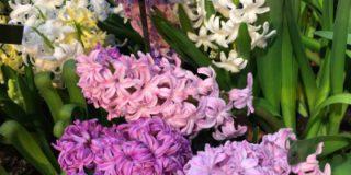 16 марта в «Аптекарском огороде» будут дарить гиацинты и мускари