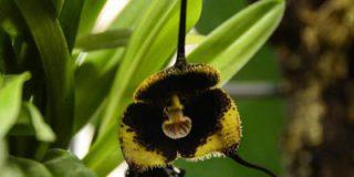 Орхидея Дракула Влад Цепеш расцвела в «Аптекарском огороде»