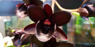 Чёрная орхидея расцвела в «Аптекарском огороде»