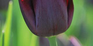 Самые чёрные в мире тюльпаны распустились в «Аптекарском огороде»
