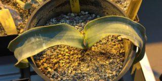 Вельвичию удивительную из пустыни Намиб представят в «Аптекарском огороде» 22 марта