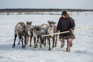Сибирская язва уничтожила больше 2000 оленей и перебросилась на людей