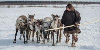 Сибирская язва уничтожила больше 2000 оленей и взялась за людей