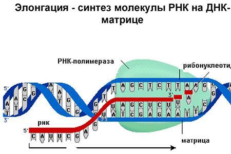 Учёные нашли так называемый «молекулярный таймер»