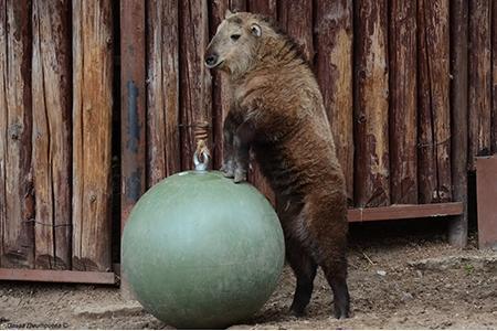 В Московском зоопарке родился сычуаньский такин