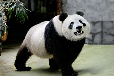 в Московском зоопарке поселились две панды