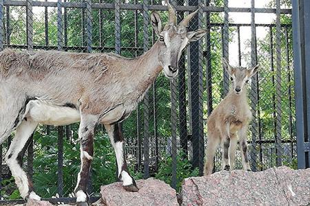 потомство редких голубых баранов в Московском зоопарке