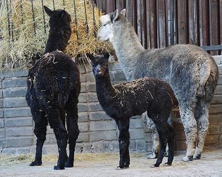 В Московском зоопарке родились два детеныша альпаки