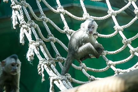 В Московского зоопарке родился детеныш капуцина плаксы