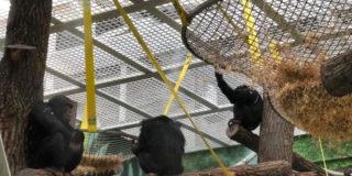 В казанский зоопарк «Река Замбези» из Швейцарии привезли шесть шимпанзе